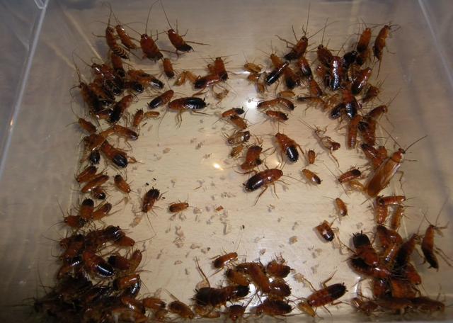 Extermination de cafards à Bordeaux | Cafards et blattes